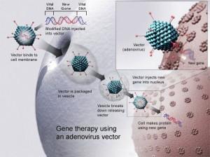 Gentherapie mit einem Adenovirus-Vektor