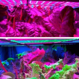 Salat wächst unter LED-Licht