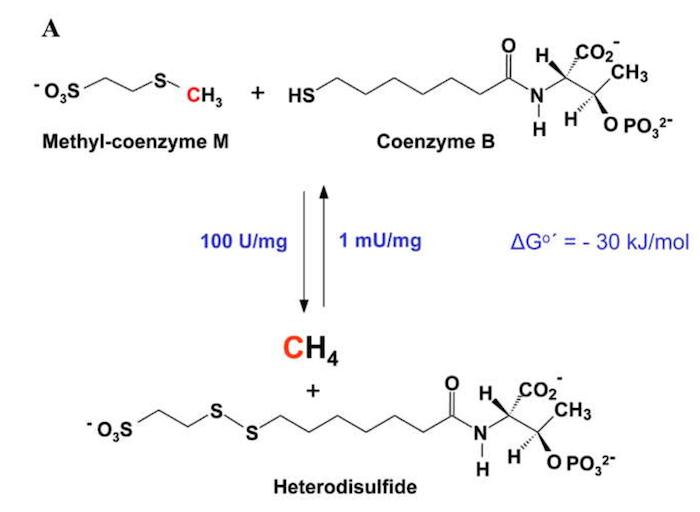 Methansynthese in Archaebakterien des Pansens von Wiederkäuern
