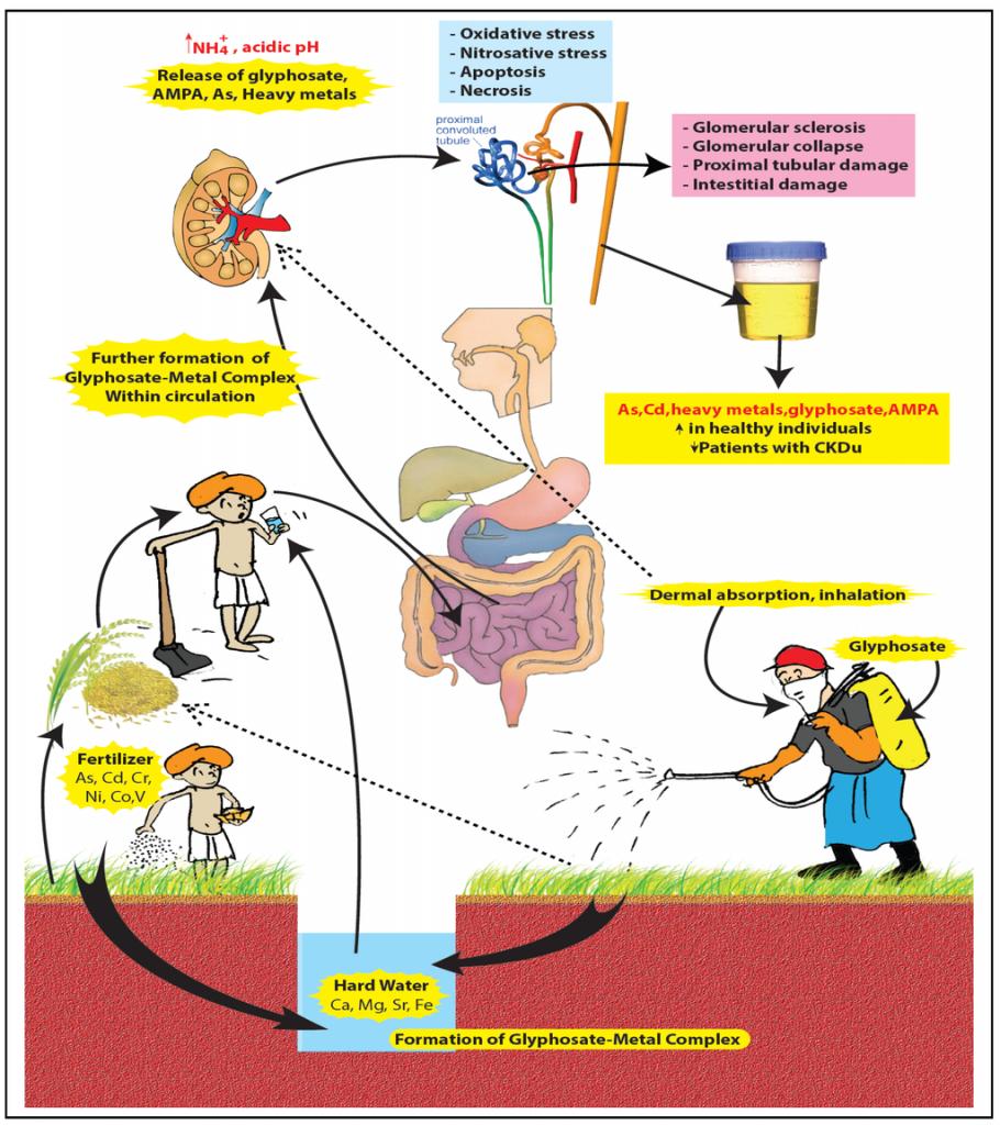 Bild zu Nierenschädigung durch Glyphosat und hartem Wasser