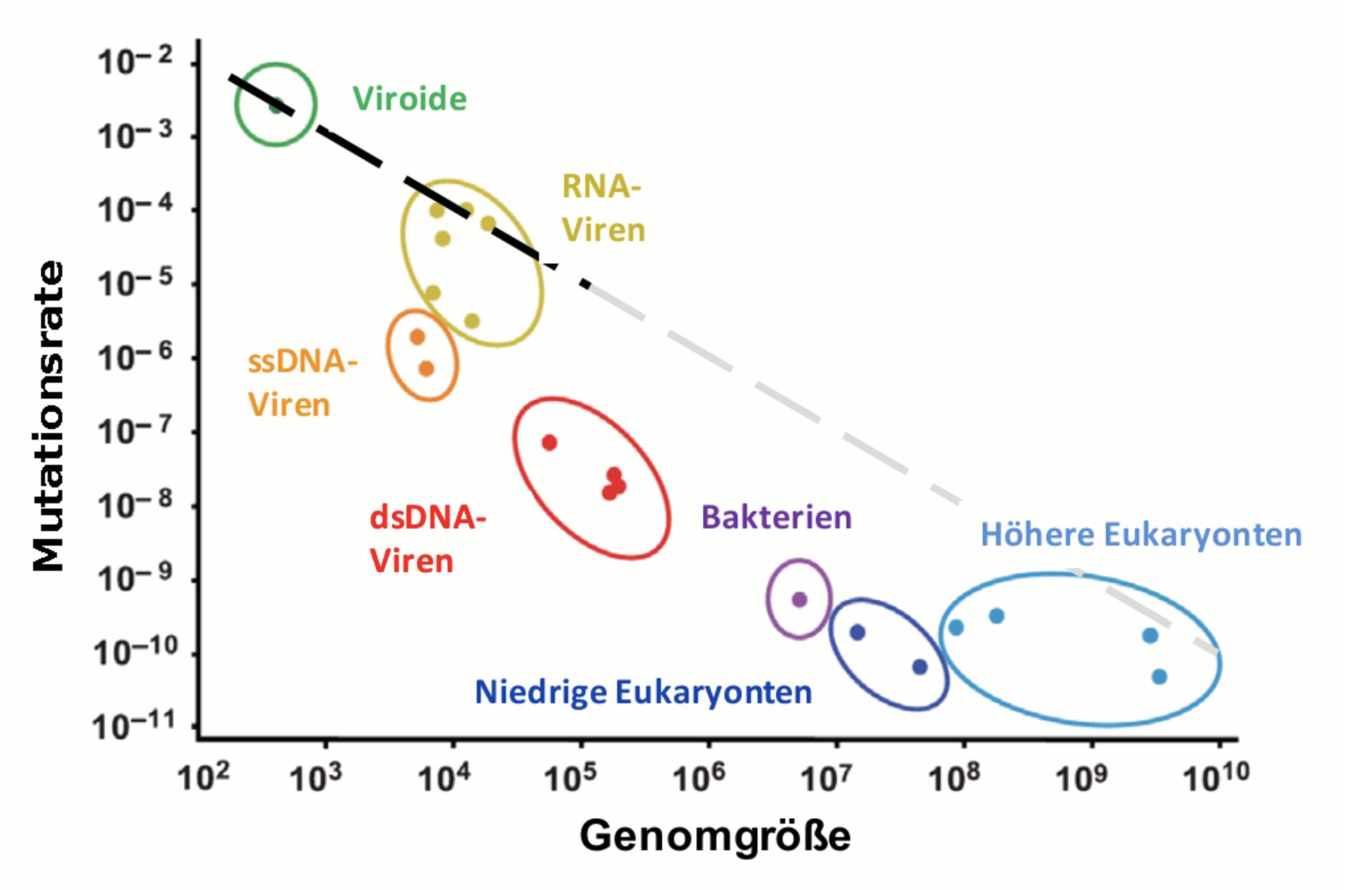 Die Mutationsrate, also die Veränderungen in einem Genom, hängt von dessen Größe ab. Je kleiner das Genom, desto schneller kann es sich verändern. Quelle: Scienceblog.at (http://scienceblog.at/index.php/letale-mutagenese-—-strategie-im-kampf-gegen-viren#.Xr2JXC2ZNBw)