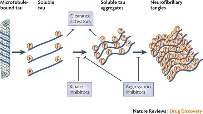 Hyperphosphorylierung von Tau Proteinen führt zu deren Aggregation und zur Zerstörung von Mikrotubuli in Neuronen. TauRX's Methylenblau-Derivat verhindert die Aggregation. Andere Wirkstoffkandidation zielen auf einen verstärkten Tau-Abbau oder eine Hemmung der Kinasen, die die Phosphorylierung katalysieren.