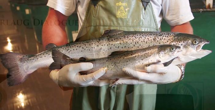Der erste zugelassene gentechnisch veränderte Lachs