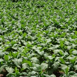 Tabakpflanzen zur Herstellung eines Ebola-Wirkstoffes