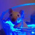 Genkonstrukt EROS wird durch blaues Licht aktiviert und löst bei Ratten eine Erektion aus